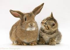 10542-Kitten-and-rabbit-white-background.jpg