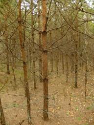 Лиственничный лес